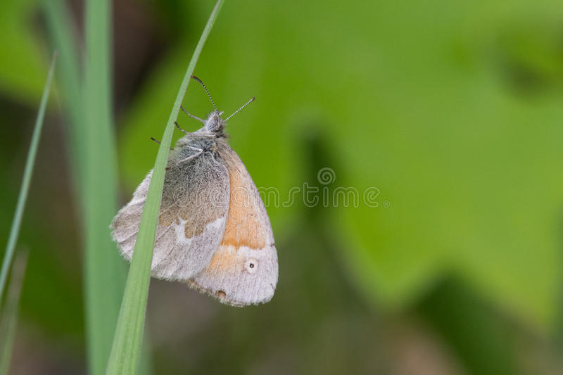 Download Boucle commune photo stock. Image du animal, insecte - 45360372