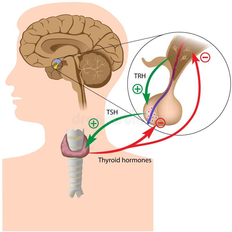 Boucle de contre-réaction négative d'hormone illustration stock