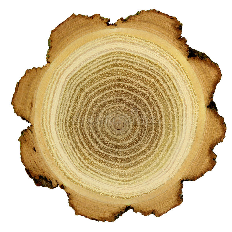 Boucles d'accroissement d'arbre d'acacia - section transversale images stock