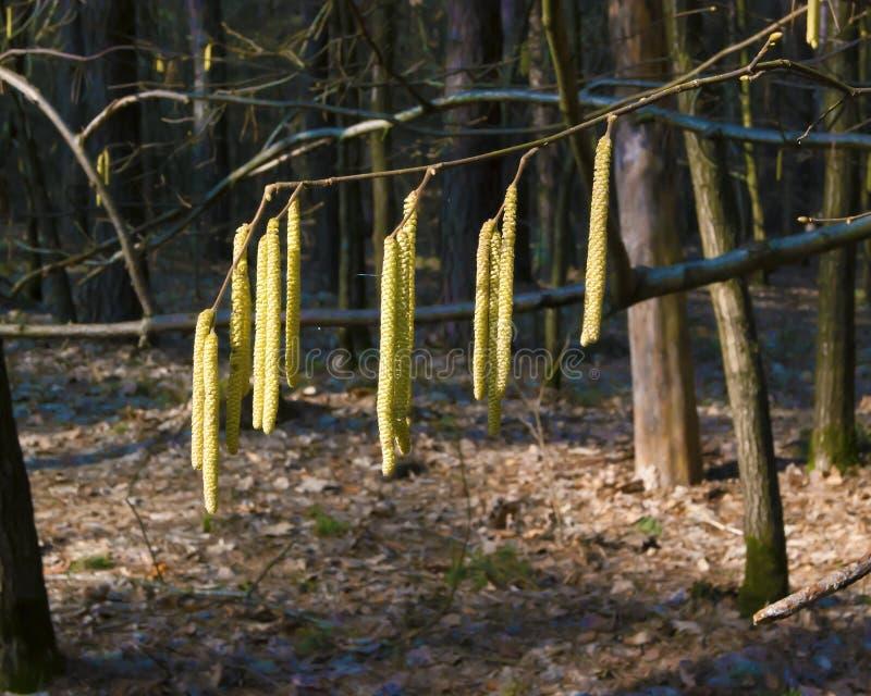 Boucles d'oreille sur une branche d'aulne photo libre de droits