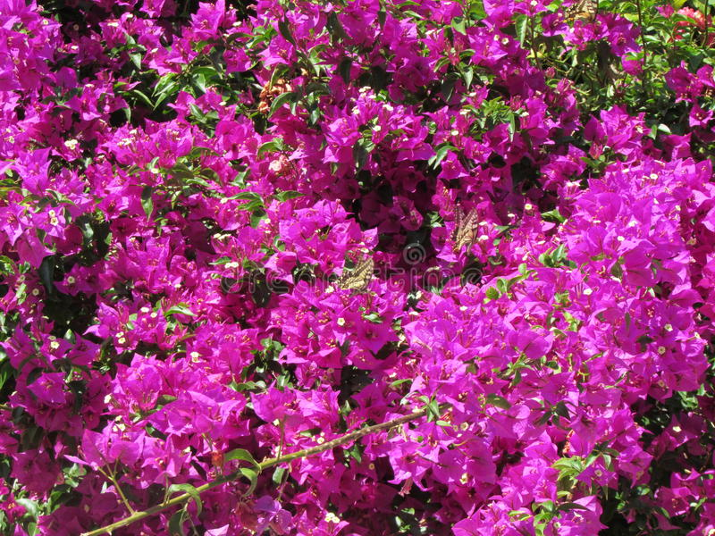 Bougainville royalty free stock photos