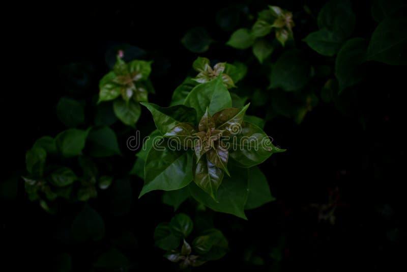 Bougainvillea ślimakowaty przygotowania opuszcza przy pączkiem jak gwiazda obrazy royalty free