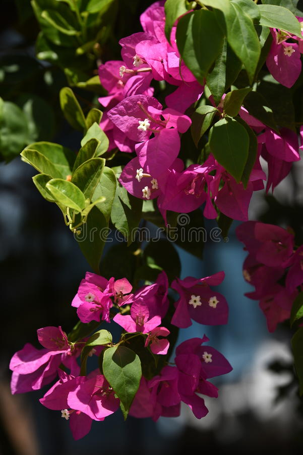 Bougainvillea Ταϊλάνδη στοκ φωτογραφίες
