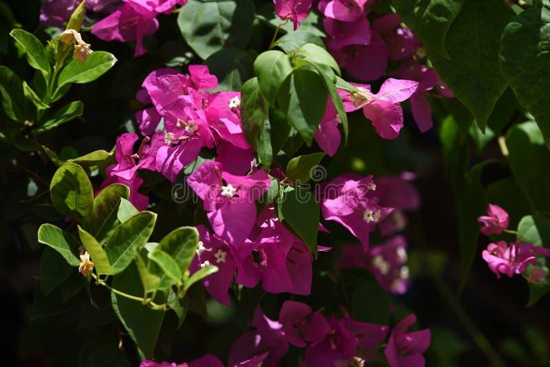 Bougainvillea Ταϊλάνδη στοκ εικόνες