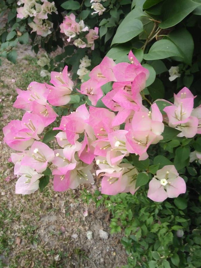 bougainvillea royalty-vrije stock foto's