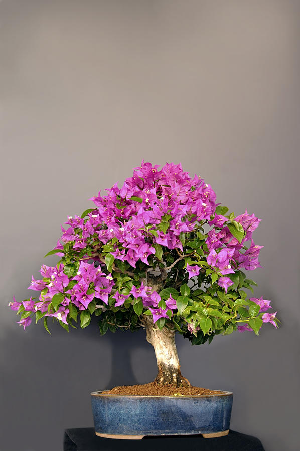 Bougainvillea. royalty free stock image