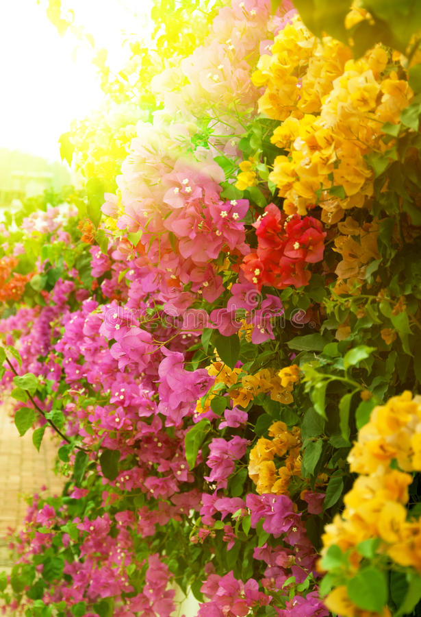 Download Bougainvillea stock image. Image of plant, attractive - 15767353