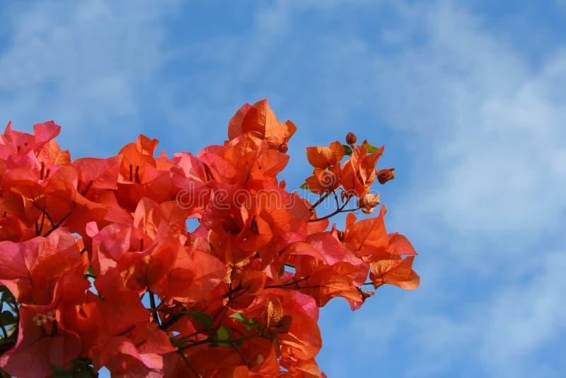 Bougainvillea Royaltyfri Fotografi