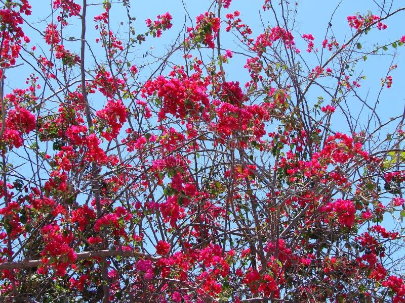 Download Bougainvillea stock photo. Image of warm, birght, plant - 18354104