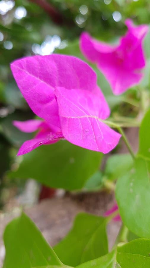 Bougainvillea - blomningmaskinerna royaltyfri fotografi