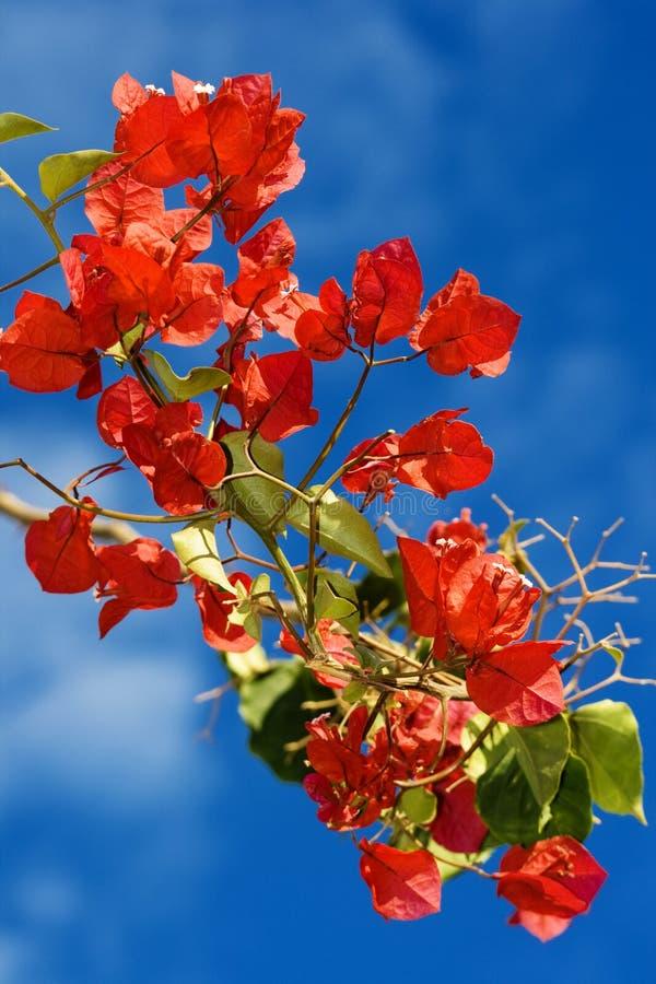 Bougainvillea blooms stock photos