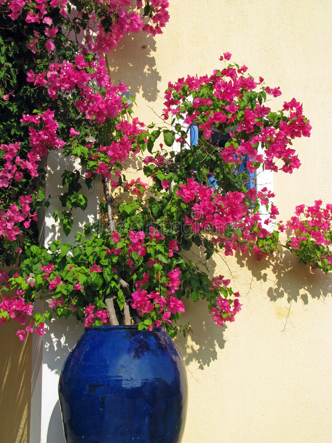 Bougainvillea In Blue Ceramics Pot Stock Photo Image Of