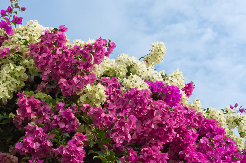 Bougainvillea bushes stock photo