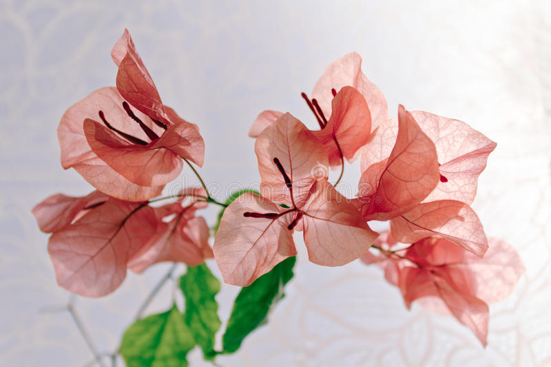 Bougainvillea. Close up dreamy bougainvillea in bloom royalty free stock photo