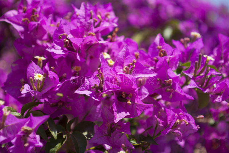 Download Bougainvillea stock photo. Image of garden, tree, flora - 33598370