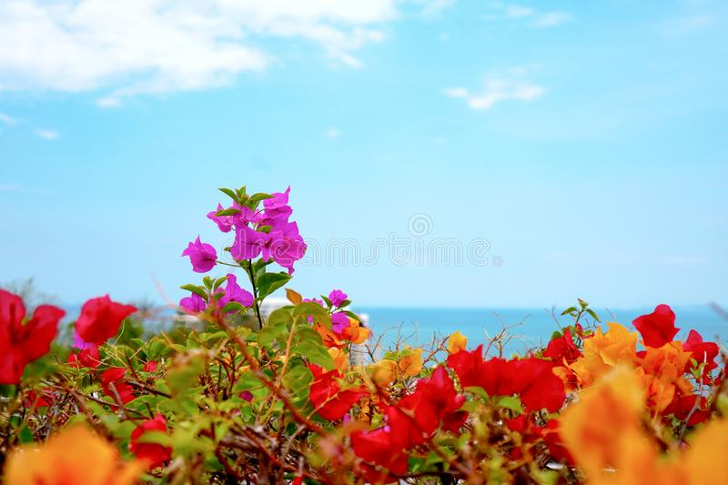 bougainvillea flower last standing between colorful flower royalty free stock photography