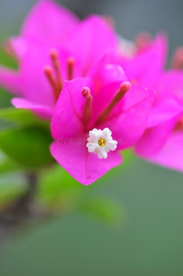 Bougainvillea cor-de-rosa fotos de stock royalty free