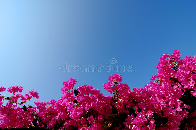 Bougainvillea cor-de-rosa brilhante imagens de stock royalty free