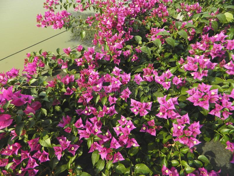 Bougainvillea creepers and herbs with flowers stock photography