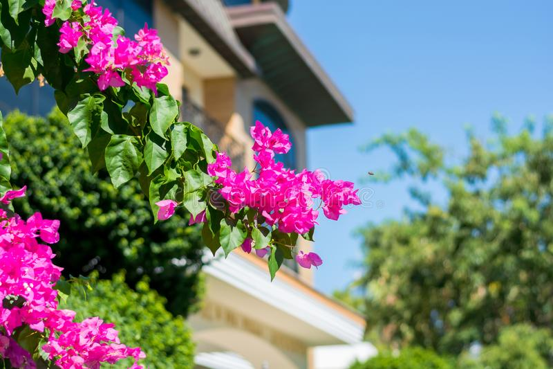 Bougainvillea decorative flower bush on the background of the bu stock photos