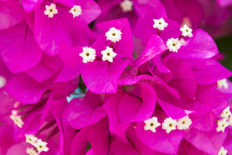 Download Bougainvillea Decorative Tree Pink Flowers Stock Photo - Image: 102084486