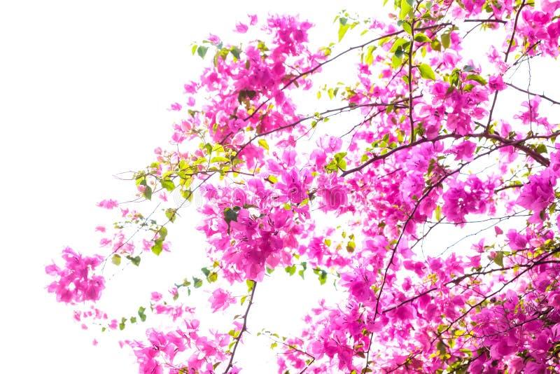 Bougainvillea die op wit bloeien stock fotografie