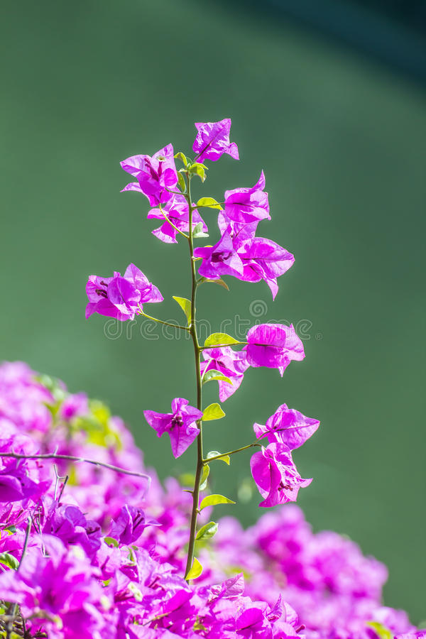 Bougainvillea, Document bloem stock foto