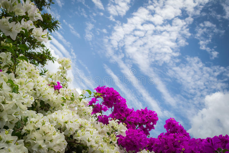 Bougainvillea eller pappers- blomma arkivbilder