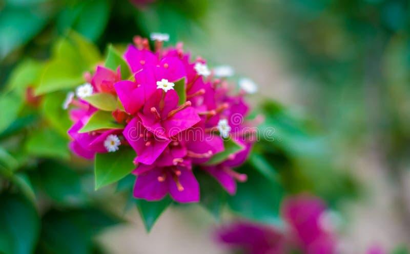 Bougainvillea eller pappers- blomma på dess filial som visar färgrik pe fotografering för bildbyråer