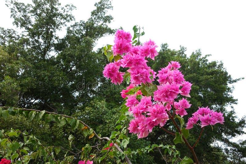 Bougainvillea floreciente fotos de archivo