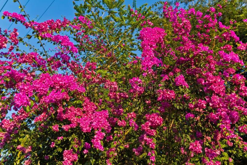 Bougainvillea floreciente. fotografía de archivo libre de regalías