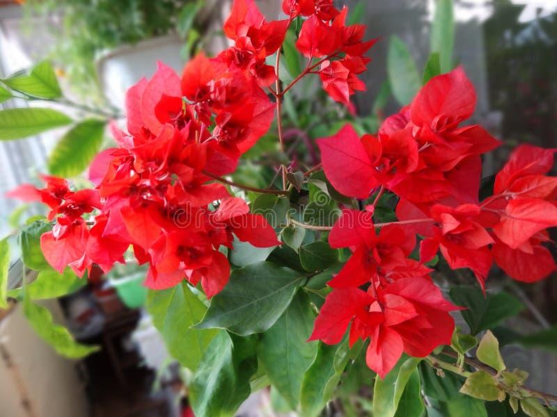 Bougainvillea floreciente rojo doble del grado foto de archivo libre de regalías