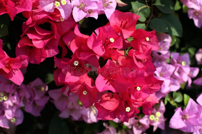 Bougainvillea flower for background pink purple red selective focus royalty free stock photo
