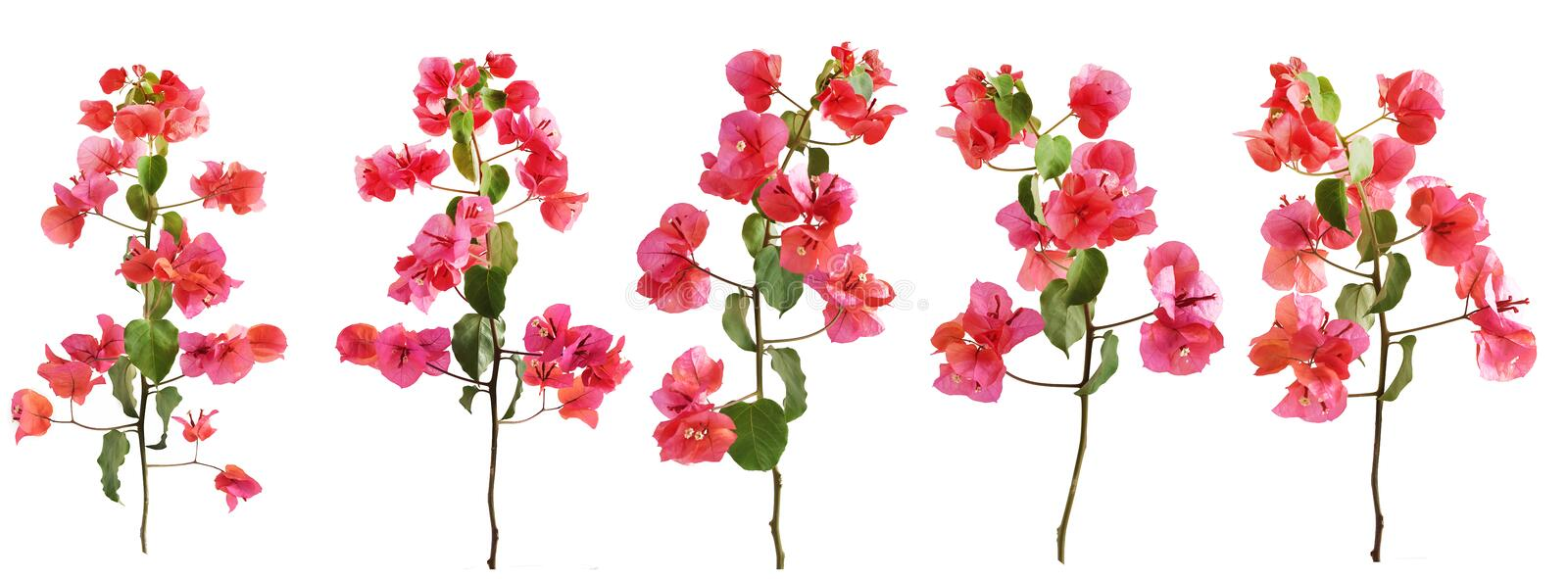 Group of bougainvillea flowers branches with leaves isolated on a white background. royalty free stock images