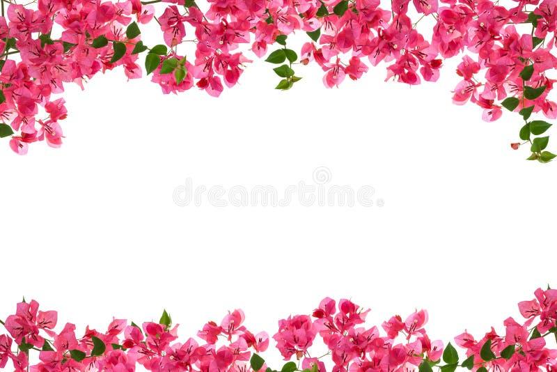 Bougainvillea flower frame on white background ,Provincial flower of phuket thailand. stock photo