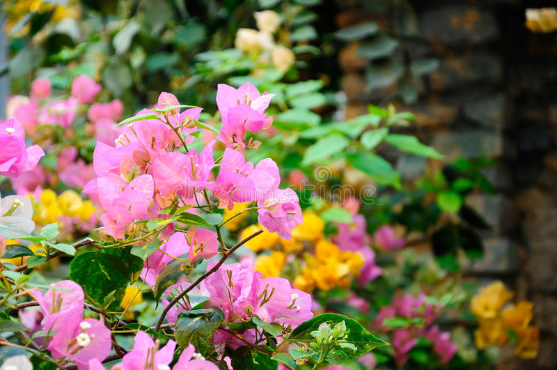 Bougainvillea flower stock images