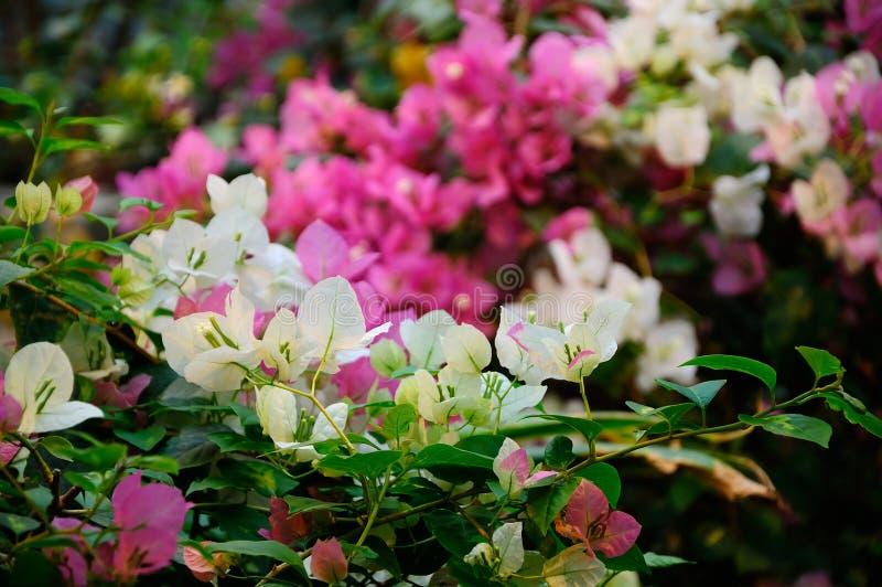 Bougainvillea flower stock image
