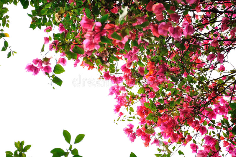 Bougainvillea flower stock photography