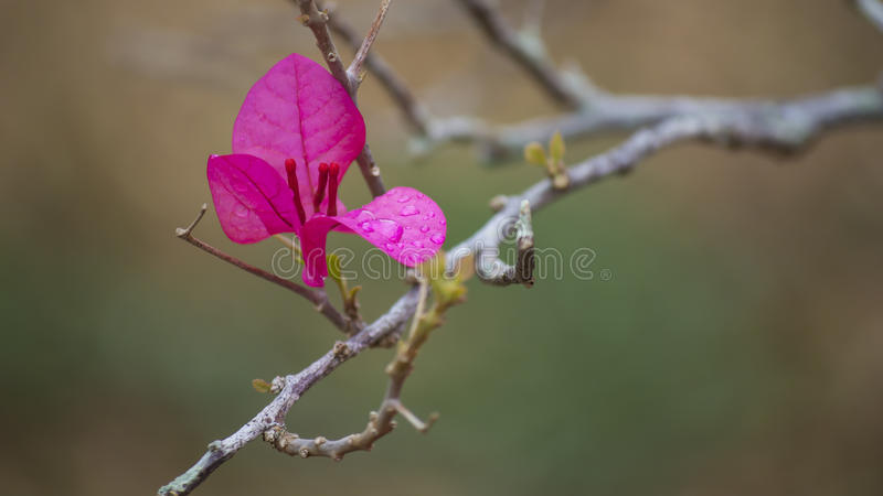 Bougainvillea flower on natural background royalty free stock photography