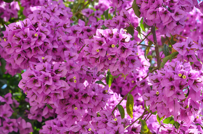 Download Bougainvillea  flowers stock image. Image of pink, thorny - 21012513