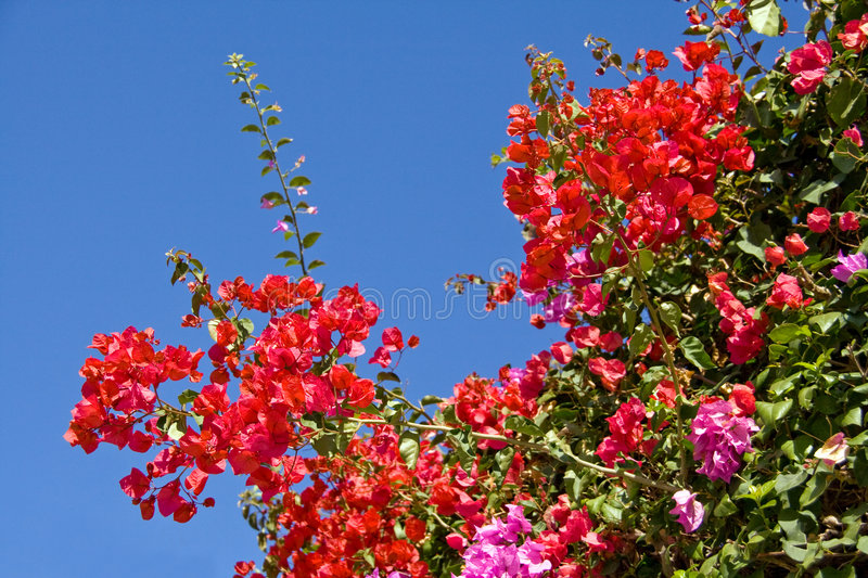 Bougainvillea flowers. Colourful bougainvillea flowers with blue sky stock image
