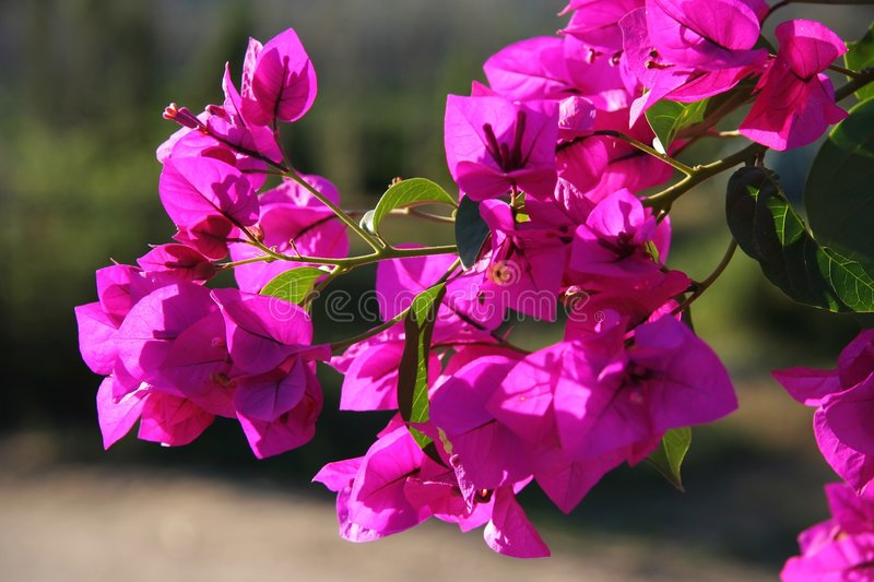 Download Bougainvillea Flowers stock photo. Image of pink, color - 5285874
