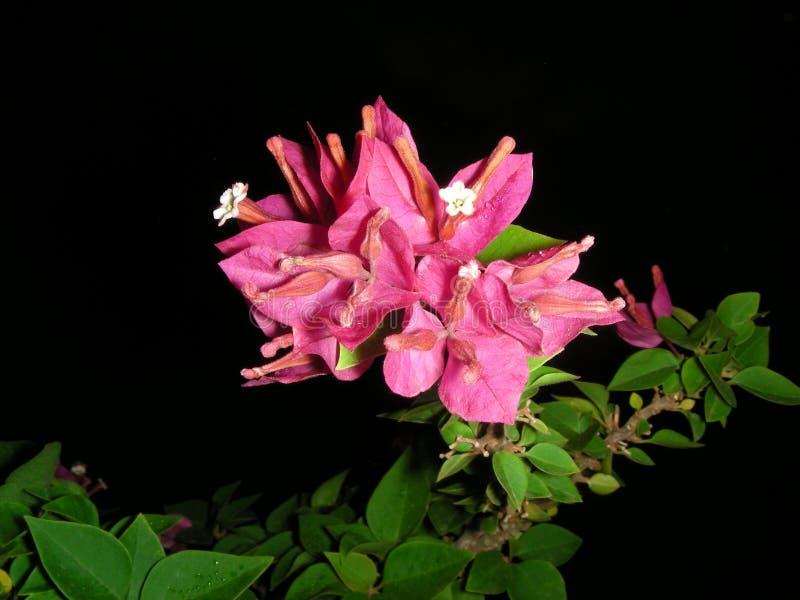 Bougainvillea Flowers Royalty Free Stock Image