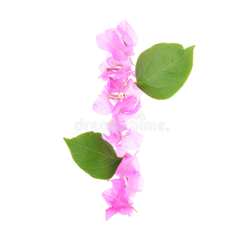 Bougainvillea flowers alphabet isolated on white background stock image