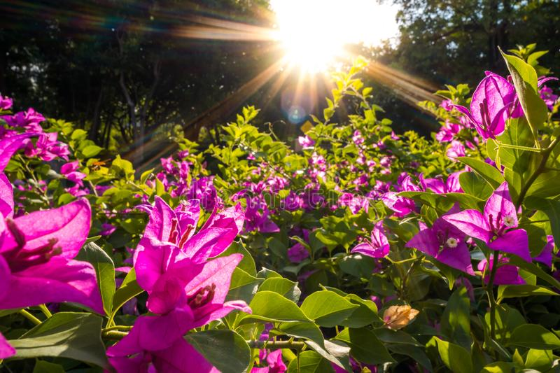 Bougainvillea flowers, the beautiful purple spring flowers with sun light in background. Light and shadow with flowers royalty free stock photography