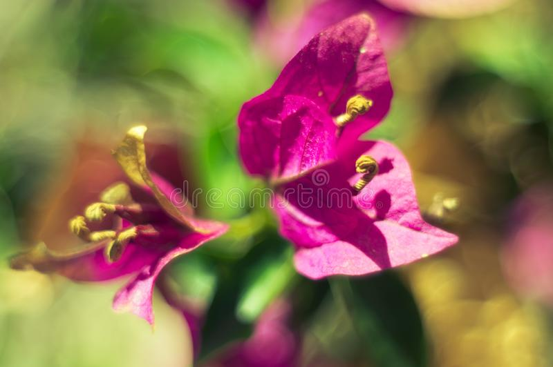 Bougainvillea flowers on a blurred background on a sunny summer day. Artistic background. Soft focus, defocused royalty free stock photography