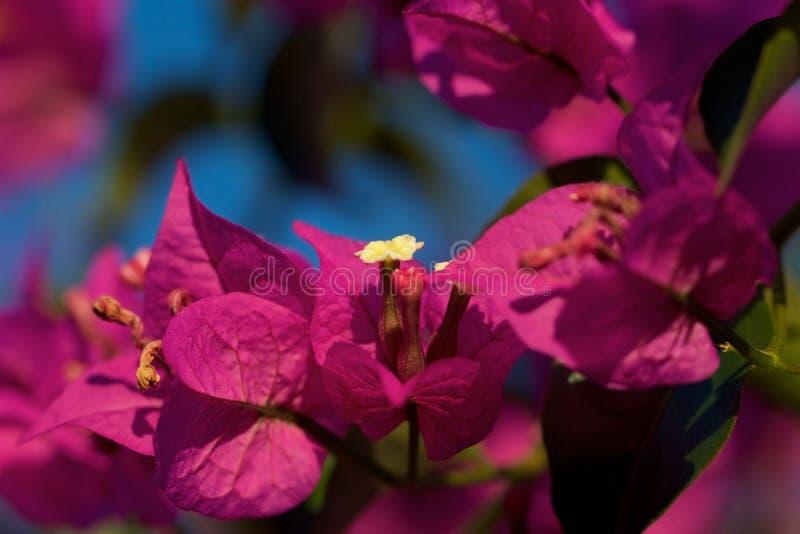 Bougainvillea flowers in garden stock photography