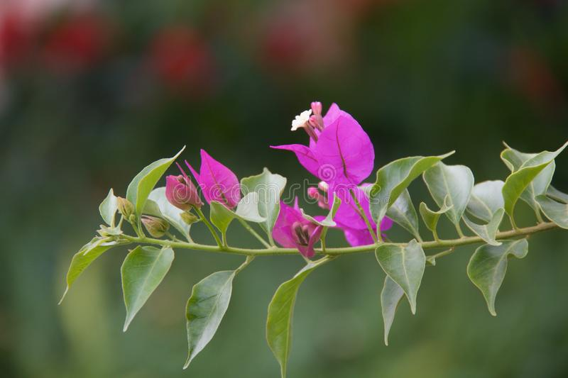 Bougainvillea flowers in garden royalty free stock photography