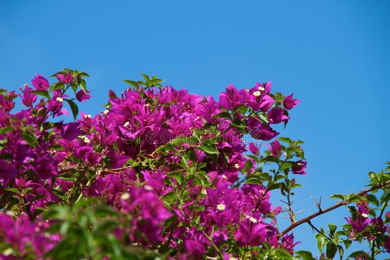Bougainvillea flowers in garden royalty free stock image