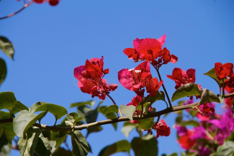 Bougainvillea flowers in garden royalty free stock photo